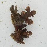 《近海産海洋生物》ミドリイシ