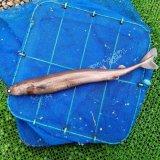 《外洋性海水魚》冷凍ダルマザメ(40〜45センチ前後)…外洋採取