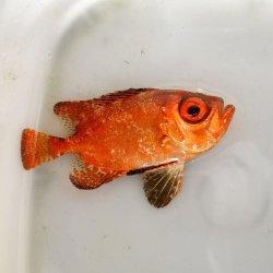 画像2: 《近海産海水魚》ミナミキントキ(Sサイズ)…ハンドコート採取