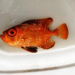 画像3: 《近海産海水魚》ミナミキントキ(Sサイズ)…ハンドコート採取