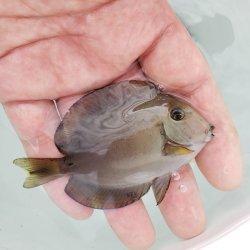画像1: 《近海産海水魚》クロモンツキ 幼魚…当店ハンドコート採取