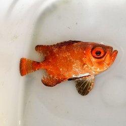 画像4: 《近海産海水魚》ミナミキントキ(Sサイズ)…ハンドコート採取
