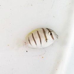 画像2: 《近海産海水魚》シマハギ ・・・・・・当店ハンドコート