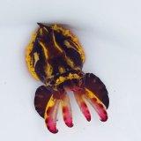 《近海産甲殻類》ハナイカ(Sサイズ)…ハンドコート採取