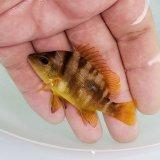 《近海産海水魚》ナミフエダイ 幼魚…当店ハンドコート採取