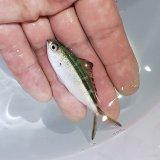《近海産海水魚》ササムロ(Sサイズ)…ハンドコート採取※ポイント値引き中