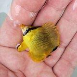 アミチョウチョウウオ 幼魚 ハンドコート個体