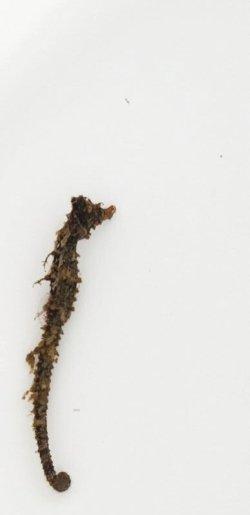 画像1: 《近海産海水魚》タツノオトシゴ(擬態軟骨多)…近海ハンドコート採取