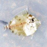 《近海産海水魚》テングハギ属の幼魚(種判別不可能サイズ)…当店ハンドコート個体