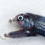《外洋性深海魚》ワニトカゲギス目の1種(画像の個体です)…冷凍個体