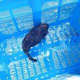 《近海産海水魚》モヨウフグ…ハンドコート採取