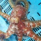 《近海産甲殻類》ワモンダコ(SMサイズ)…ハンドコート採取