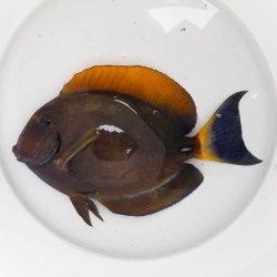 画像1: 《近海産海水魚》ニセカンランハギ(15センチ±)…ハンドコート採取