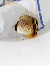 《近海産海水魚》フウライチョウチョウウオ(熊野灘産)1匹…当店ハンドコート採取