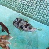 《近海産海水魚》ハリセンボン…ハンドコート採取