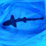 《近海産海水魚》ドチザメ(SMサイズ)1匹…ハンドコート採取