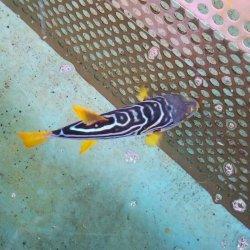 画像1: 《近海産海水魚》☆★綺麗★☆シマフグ‥ハンドコート採取