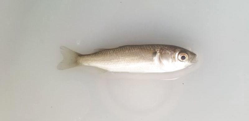 ボラ幼魚の2匹セット - 【近海産海水魚類・甲殻類・海洋生物類専門 ...
